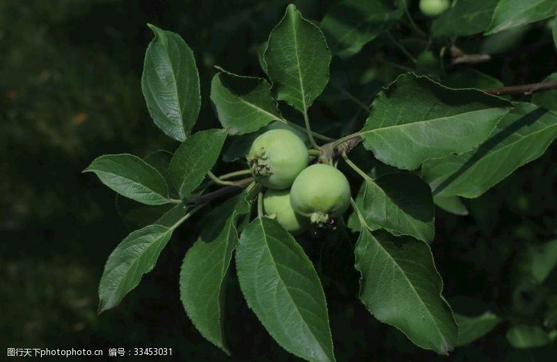 果品海棠青果
