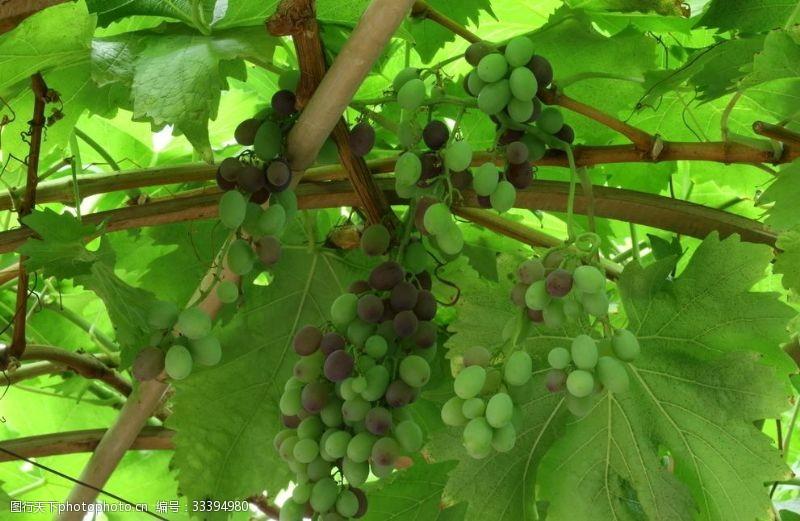 果品青葡萄