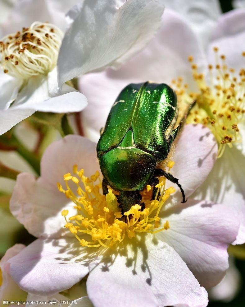 绿色玫瑰甲虫