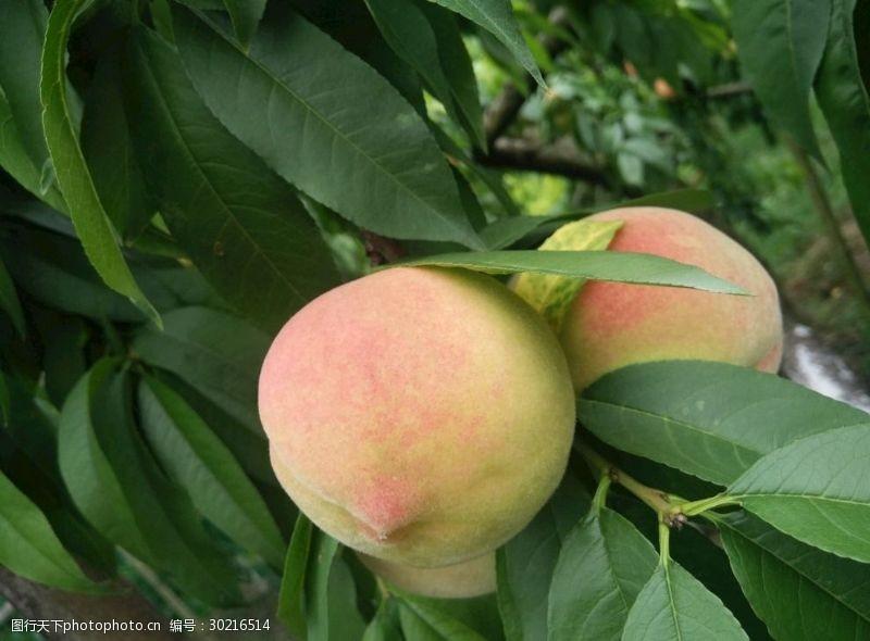桃子树植物其他