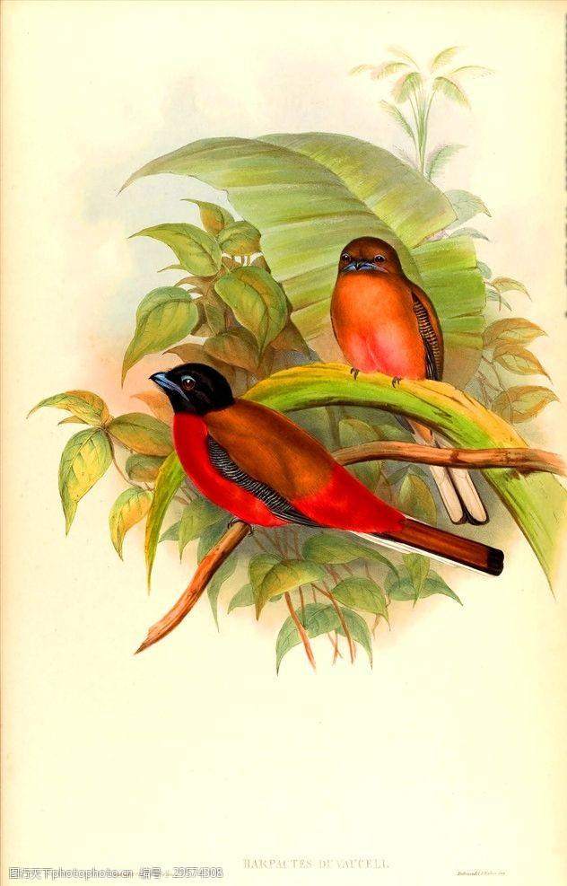 小鸟插图亚洲鸟类插画