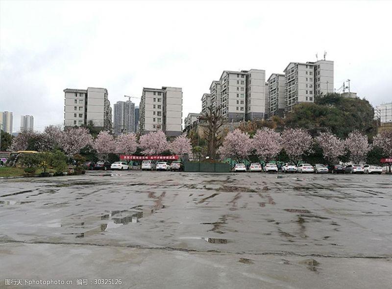 黔桂缘传媒盛开的樱花