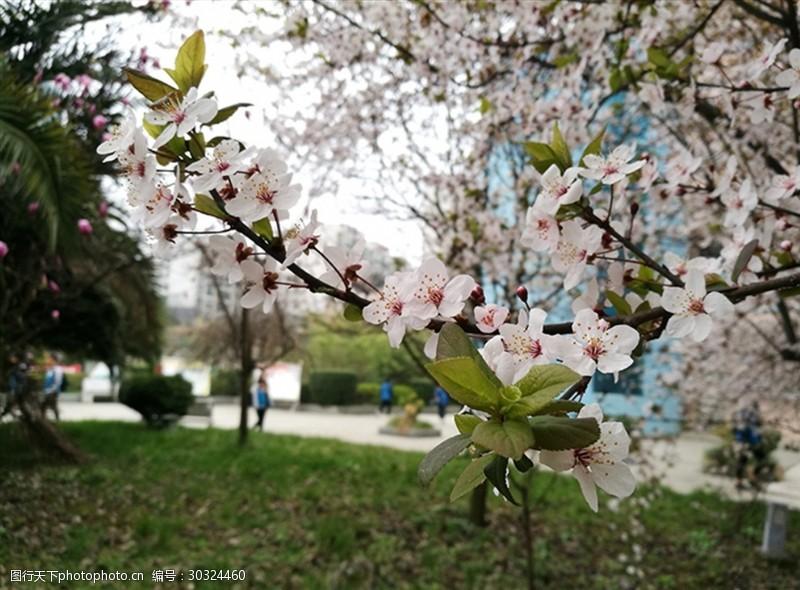 黔桂缘传媒樱花