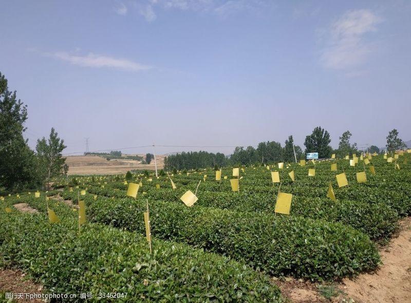 干茶叶绿茶江北绿茶生态茶园生态