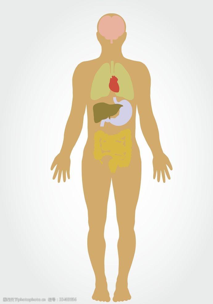 人体器官图人体透视图
