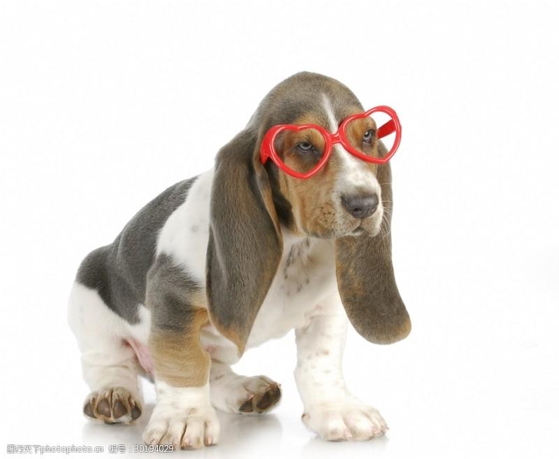 眼镜狗短腿猎犬