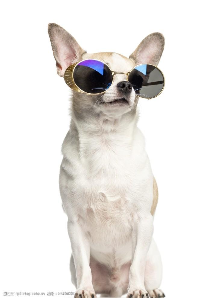 眼镜狗吉娃娃